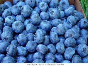 Blueberry Fruit In Hallock, OR -- 7.18.13